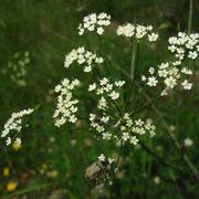 Kleine Bibernelle (Pimpinella saxifraga s.lat.)