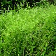 Klett-Labkraut (Galium aparine)