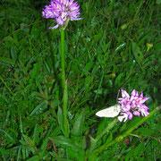 Dreizahn-Keuschständel (Neotinea tridentata)