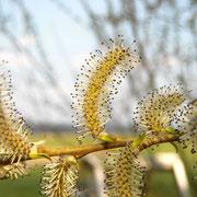 Purpur-Weide (Salix purpurea) | männliche Blüten