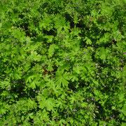 Klein-Storchschnabel (Geranium pusillum)