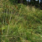 Stachel-Segge (Carex muricata agg.)