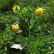 Gold-Klee (Trifolium aureum)