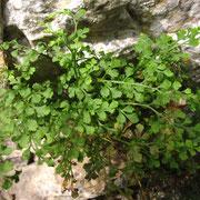 Mauer-Streifenfarn (Asplenium ruta-muraria)