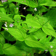 Nessel-Ehrenpreis (Veronica urticifolia)