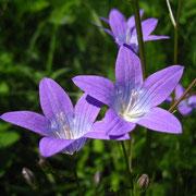 Wiesen-Glockenblume (Campanula patula)