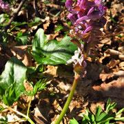 Hohl-Lerchensporn (Corydalis cava)