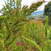 Acker-Hühnerhirse (Echinochloa crus-galli)