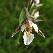 Sumpf-Ständelwurz (Epipactis palustris)