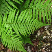 Echter Wurmfarn (Dryopteris filix-mas)