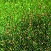 Platthalm-Simse (Juncus compressus)