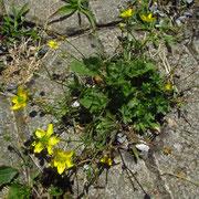 Sardinien-Hahnenfuß (Ranunculus sardous)