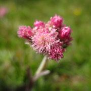Gewöhnliches Katzenpfötchen (Antennaria dioica)