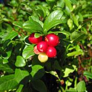 Preiselbeere (Vaccinium vitis-idaea)