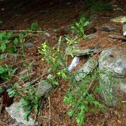 Wald-Greiskraut (Senecio sylvaticus)
