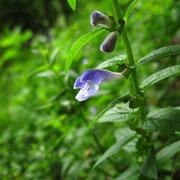 Sumpf-Helmkraut (Scutellaria galericulata)