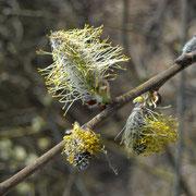 Sal-Weide (Salix caprea) | männliche Blüten
