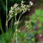 Weiß-Hainsimse (Luzula luzuloides)