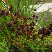Glieder-Simse (Juncus articulatus)