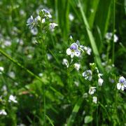 Quendel-Ehrenpreis (Veronica serpyllifolia)