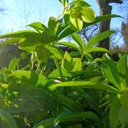 Grün-Nieswurz (Helleborus viridis)