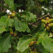 Trauben-Eiche (Quercus petraea)