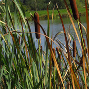 Breitblatt-Rohrkolben (Typha latifolia)