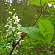 Echte Traubenkirsche (Prunus padus)
