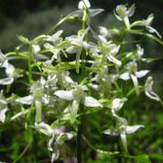 Weiß-Waldhyazinthe (Platanthera bifolia)