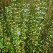 Gewöhnlicher Steinquendel (Clinopodium acinos)