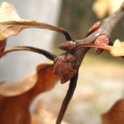 Trauben-Eiche (Quercus petraea) | Knospen