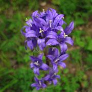 Knäuel-Glockenblume (Campanula glomerata)