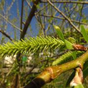 Bruch-Weide (Salix fragilis) | weibliche Blüte