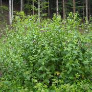 Kletten-Ringdistel (Carduus personata)