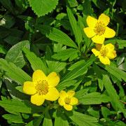 Gelb-Windröschen (Anemone ranunculoides)