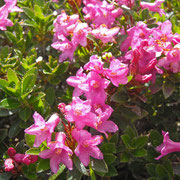 Wimper-Alpenrose (Rhododendron hirsutum)