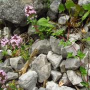 Kriech-Quendel (Thymus praecox)