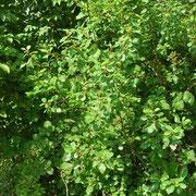 Faulbaum (Frangula alnus)