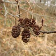 Schwarz-Erle (Alnus glutinosa) | Fruchtstände (Zapfen) vom Vorjahr