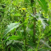 Dorn-Gänsedistel (Sonchus asper)