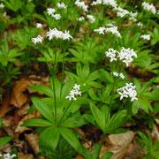 Waldmeister (Galium odoratum)
