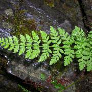 Bruch-Blasenfarn (Cystopteris fragilis)
