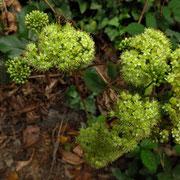Quirl-Waldfetthenne (Hylotelephium maximum)