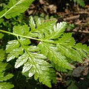 Glanz-Kerbel (Anthriscus nitidus)