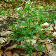 Wald-Schaumkraut (Cardamine flexuosa)