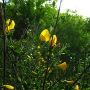 Besenginster (Cytisus scoparius)