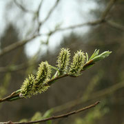 Korb-Weide (Salix viminalis) | weibliche Blüten