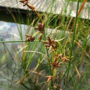Grün-Teichbinse (Schoenoplectus lacustris)