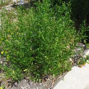 Virginien-Kresse (Lepidium virginicum)
