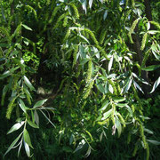 Silber-Weide (Salix alba) | weibliche Pflanze